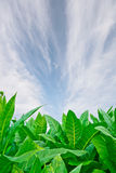 green tobacco field on white background Stock Image