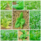 Green tobacco fields  collage on white background. Stock Photo
