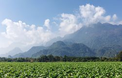Green tobacco field. Green tobacco growing in field with clouds blue sky and mountain background stock photography