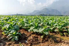 Green tobacco field. Green tobacco growing in field with clouds blue sky and mountain background royalty free stock photography