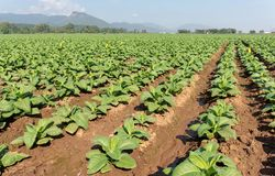 Green tobacco field. Green tobacco growing in field with clouds blue sky and mountain background stock photo