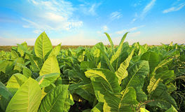 Green tobacco Royalty Free Stock Photo