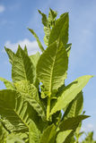 Green tobacco plants. Royalty Free Stock Images