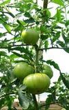 Green Tomato Royalty Free Stock Photography