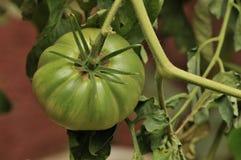 Green Tomato. In the farm royalty free stock photo