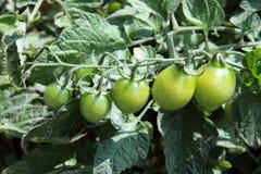 Green tomato Royalty Free Stock Photos