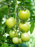 Green tomato. Royalty Free Stock Images