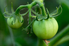 Green tomato. Two green tomatoes on a vine Stock Photos