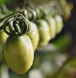 Green tomato babies in the garden Stock Image
