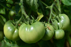 Green  tomato. Beautiful big and  green organic tomato  on the tomato plant Royalty Free Stock Images