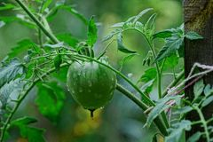 Green tomato on a branch after a rain Royalty Free Stock Photos