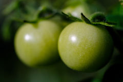 Green tomato detail Royalty Free Stock Images