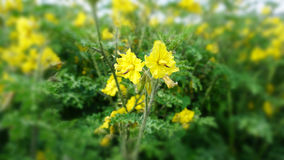 Green tomato flowers. A bunch of yellow blossoms growing in a field in the street with many green leaves and branches, detail of some yellow flowers Stock Photography