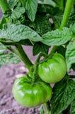 Green tomato fruit Stock Photos