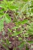 Green tomato fruit growing among flower buds Stock Image
