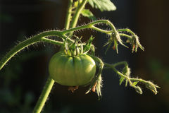 Green tomato in the garden Stock Images