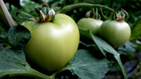 Green tomato in a greenhouse Royalty Free Stock Images