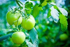 Green tomato growing on a branch. Fresh green tomatoes in greenhouse Stock Image