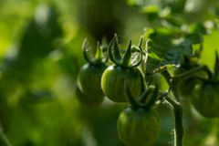 Green tomato growing on twig Royalty Free Stock Photography