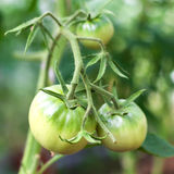 Green tomato in hothouse Stock Image