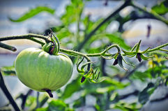 Green tomato Stock Photography