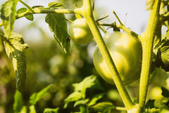 Green Tomato Plant Stock Photos