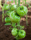 Green tomato plants in greenhouse Royalty Free Stock Photos