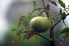 A green tomato after the rain Royalty Free Stock Photo