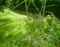 A Green Tomato on it's vine Royalty Free Stock Images