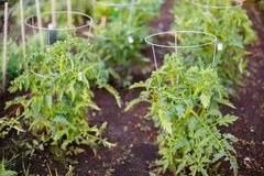 Green tomato seedling grows on a garden bed stock photography