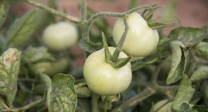 Green tomato. Some Green tomato in farm on branch royalty free stock image