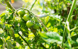 Green tomato Royalty Free Stock Photos