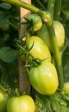 Green  tomato on tree Stock Photos