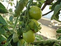 Green Tomato vegetable royalty free stock photos