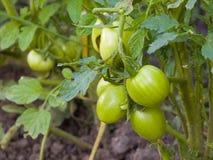 Green Tomato Vine Stock Photos