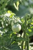 Green Tomato on Vine. Little green organic tomato in the garden, closeup Royalty Free Stock Image