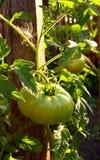 Green tomato on vine Royalty Free Stock Photo