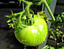 Green tomato Royalty Free Stock Images