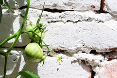 Green tomato on white Stock Images