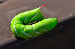 Green tomato worm Royalty Free Stock Photo