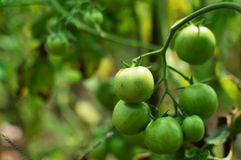 Green Tomato 02 stock photography