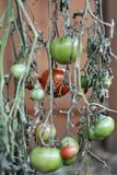 Green Tomatoes. At end of the growing season hanging on a drying vine to ripen. Most  will tend to ripen on the vine if entire plant is pulled from the garden royalty free stock photography