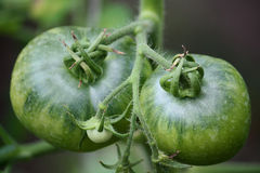 Green tomatoes. On the twig Stock Photos