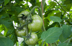 Green tomatoes. Green unripe tomatoes in green house Royalty Free Stock Images