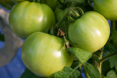 Green tomatoes Stock Photography