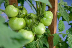 Green tomatoes Royalty Free Stock Photography