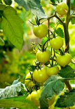 Green tomatoes. Hanging from branch in the backyard Royalty Free Stock Photo