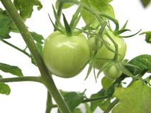 Green tomatoes. On white background royalty free stock photo