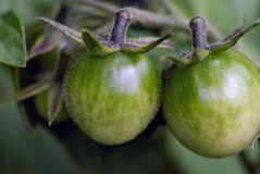 Green Tomatoes. Close up picture of green tomatoes on the tomato plant Stock Photos