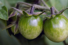 Green Tomatoes. Close up picture of green tomatoes on the tomato plant Royalty Free Stock Images